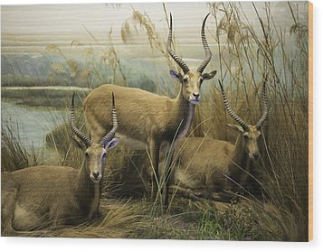 African Impalas Wood Print by Diego Re