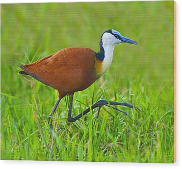 African Jacana Wood Print by Tony Beck