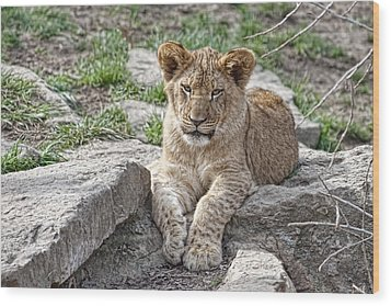 African Lion Cub Wood Print by Tom Mc Nemar