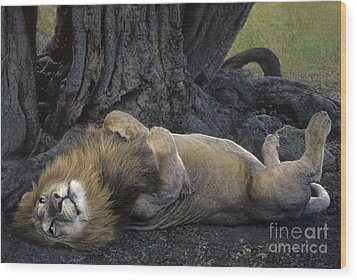 African Lion Panthera Leo Wild Kenya Wood Print by Dave Welling