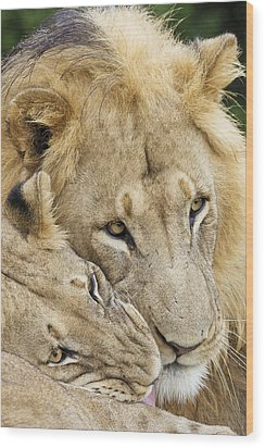 African Lions Wood Print by Science Photo Library