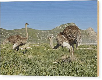 African Ostriches Foraging Next To Beach Wood Print by Sami Sarkis