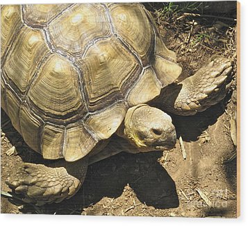 African Spurred Tortoise Wood Print by CML Brown
