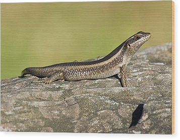 African Striped Skink On A Rock Wood Print by Science Photo Library
