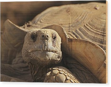 African Tortoise Wood Print
