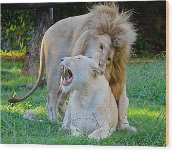 African White Lions Wood Print by Venetia Featherstone-Witty