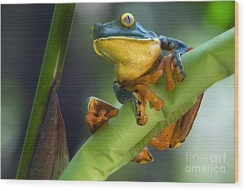 Agalychnis Calcarifer 4 Wood Print by Arterra Picture Library