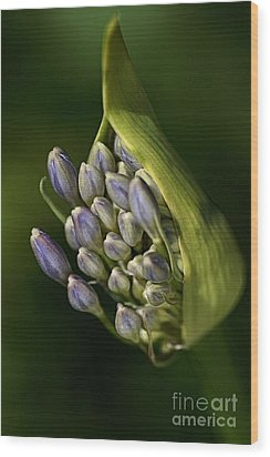 Wood Print featuring the photograph Agapanthus by Joy Watson