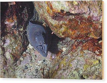 Agressive Attitude Of Moray-eel Muraena Helena In Its Hole Wood Print by Sami Sarkis