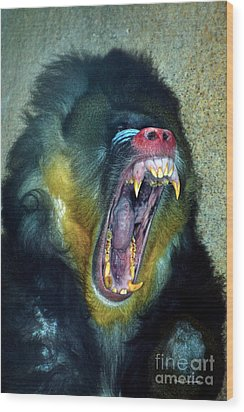 Agressive Mandrill Wood Print by Thomas Woolworth