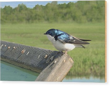 Alaskan Swallow Wood Print