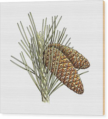 Aleppo Pine (pinus Halepensis) Cones Wood Print by Science Photo Library