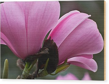 Wood Print featuring the photograph Pink Magnolia by Sabine Edrissi