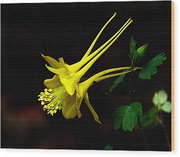 All Yellow Columbine Wood Print