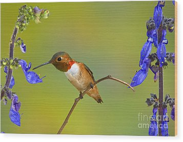 Allens Hummingbird Wood Print by Anthony Mercieca