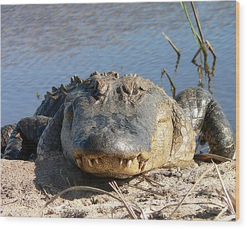 Alligator Approach Wood Print by Al Powell Photography USA
