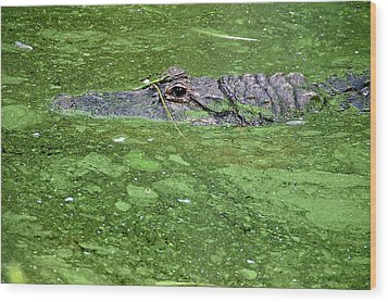 Alligator In Swamp Wood Print by Aimee L Maher Photography and Art Visit ALMGallerydotcom