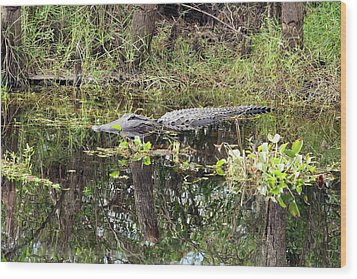 Alligator In Swamp Wood Print by Jim West
