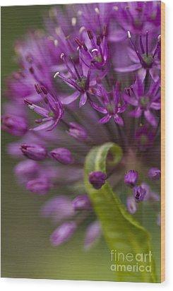 Allium Curl Wood Print by Anne Gilbert