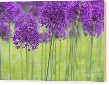 Allium Hollandicum Purple Sensation Flowers Wood Print by Tim Gainey