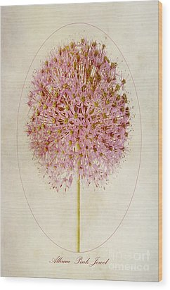 Allium Pink Jewel Wood Print by John Edwards