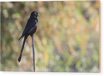 Wood Print featuring the photograph Alone - Black Drongo  by Ramabhadran Thirupattur