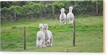 Alpacas In Ireland Wood Print