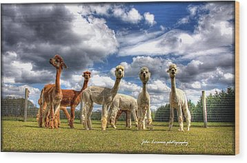 Alpacas Wood Print by John Loreaux