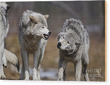 Wood Print featuring the photograph Alpha Displeasure by Wolves Only