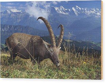 Alpin Ibex Male Grazing Wood Print by Konrad Wothe