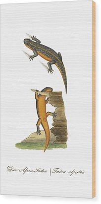 Alpine Newt Wood Print