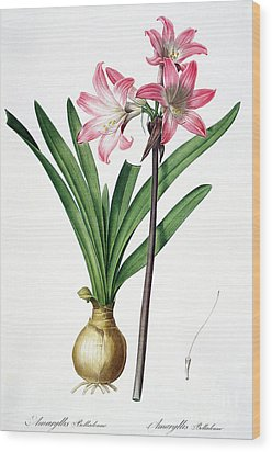 Amaryllis Belladonna From Les Liliacees Engraved By De Gouy Wood Print by Pierre Joseph Redoute