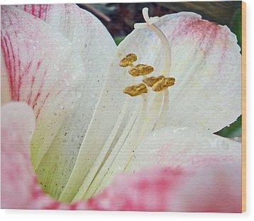 Amaryllis Belladonna Wood Print by Judy Hall-Folde