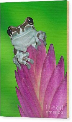Amazon Milk Frog Trachycephalus Wood Print by Dennis Flaherty