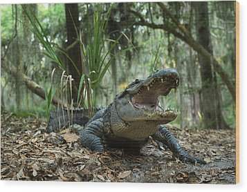 American Alligator (alligator Wood Print by Pete Oxford