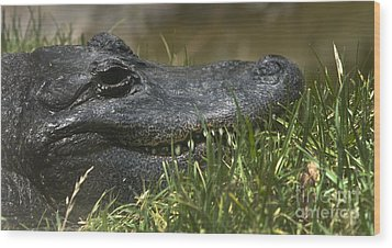 Wood Print featuring the photograph American Alligator Closeup by David Millenheft