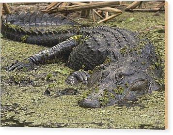 American Alligator Smile Wood Print