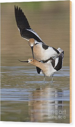 American Avocets Wood Print by Bryan Keil
