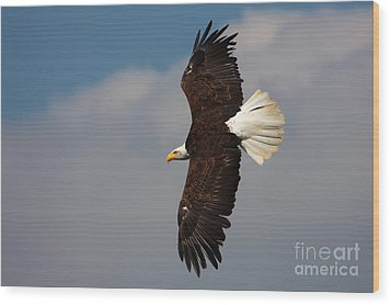 Wood Print featuring the photograph American Bald Eagle In Flight by Nick  Biemans