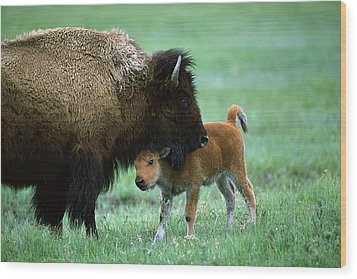 American Bison And Calf Yellowstone Np Wood Print by Suzi Eszterhas