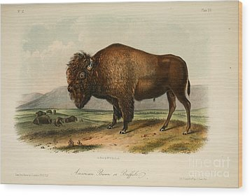 American Bison  Wood Print by Celestial Images