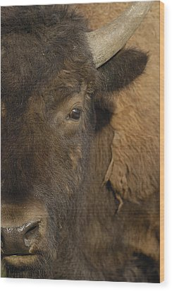 American Bison  Male Wyoming Wood Print by Pete Oxford