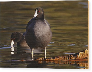 Wood Print featuring the photograph American Coot  by Brian Cross