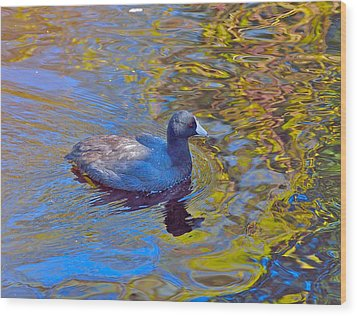 American Coot Wood Print by Kathy King