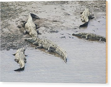 American Crocodiles (crocodylus Acutus) Wood Print by Photostock-israel