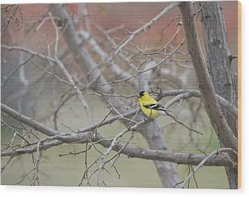 American Goldfinch 1 Wood Print