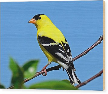 American Goldfinch Wood Print by Rodney Campbell
