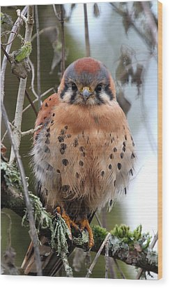 American Kestrel Wood Print by Angie Vogel