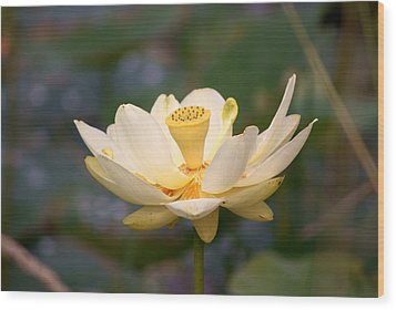 Wood Print featuring the photograph American Lotus by B Wayne Mullins
