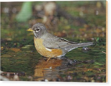 American Robin (turdis Migratorius Wood Print by Richard and Susan Day